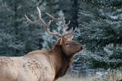 Canadian-Rocky-Mountain-Wildlife-Jason-Gambone-2019-403